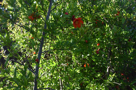 Pomegranite blooms