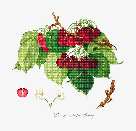 BL22460 The May Duke Cherry
