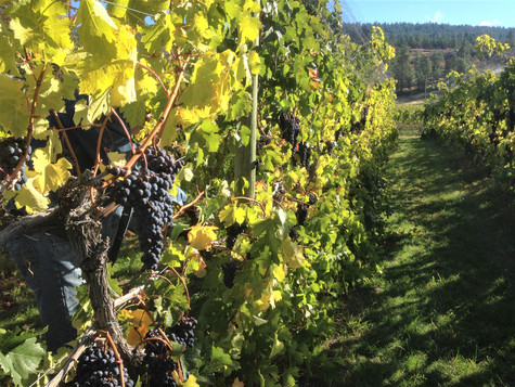 Merlot grapes at harvest