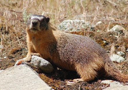 Our resident marmot