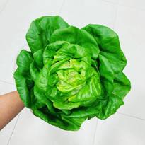 Pesticide-Free Boston Lettuce