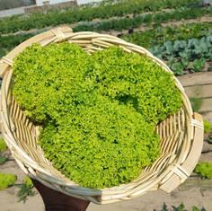 Lettuce - Lollo Bionda