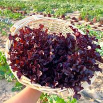 Lettuce - Heriloom Red Salad Bowl