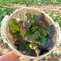 Lettuce - Heirloom Wonder of Four Seasons