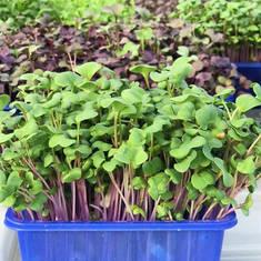 Pesticide-Free Assorted Microgreens