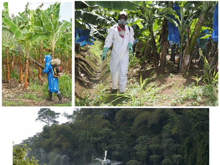 Myth About Bananas. Organic vs Conventionally Grown.