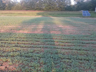 BUCKWHEAT COVER CROP FOR GARLIC