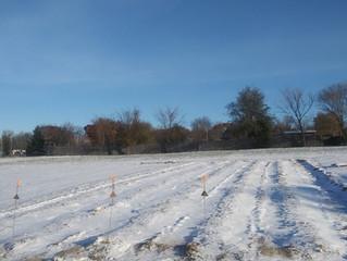 Planting Garlic in November