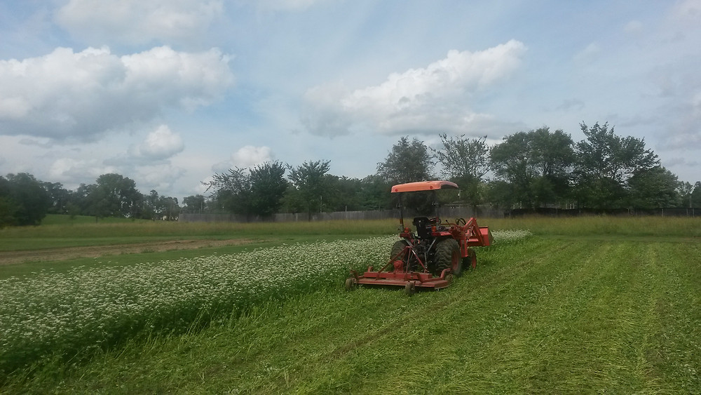 GARLIC COVER CROP / MOWING BUCKWHEAT