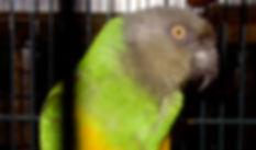 Augie, Senegal parrot