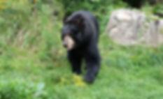 Ben, black bear