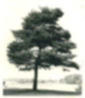 The original Japanese black pine tree that was in the front yard of the founder's home.