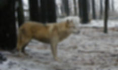 Beo, timber wolf