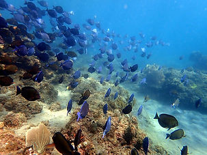 snorkeling tangs- with a group of fishes.jpg