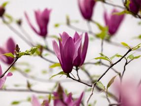 cover photo 紫木蓮 - botanical