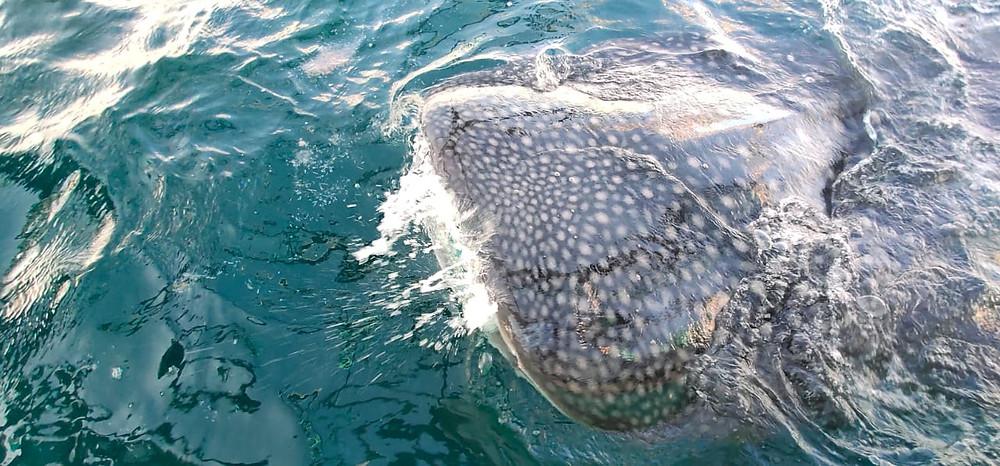 Whale_shark_purple_dive_nusa_penida