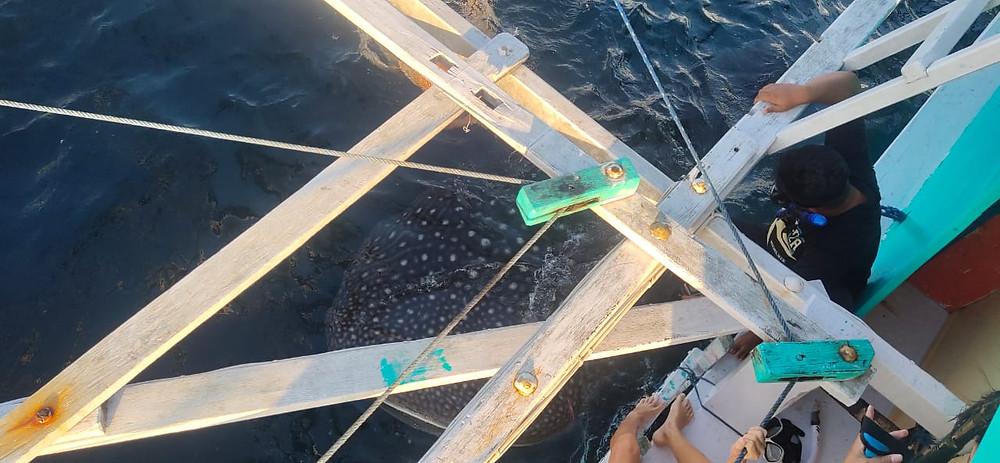 Whale_shark_diving_Bali