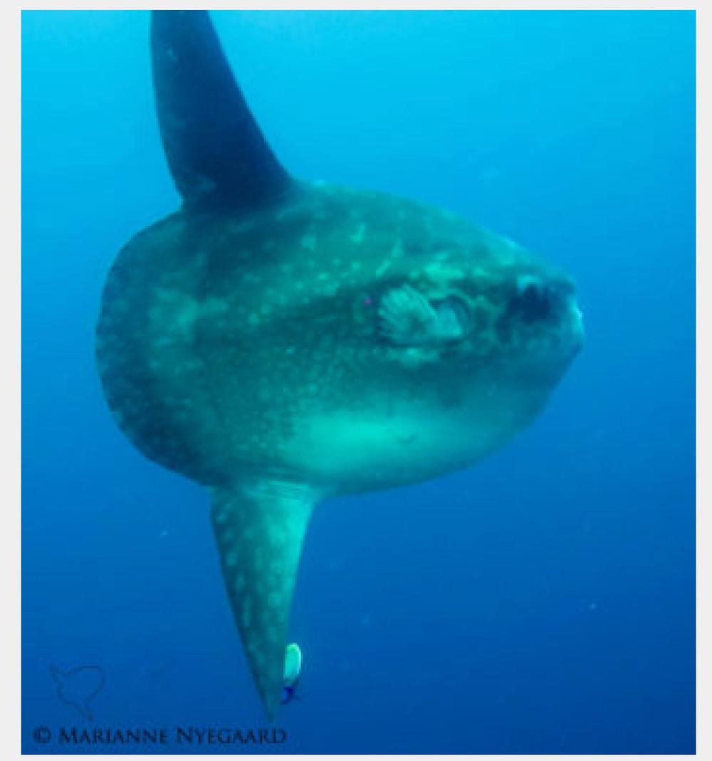 Mola mola in Nusa Penida Bali