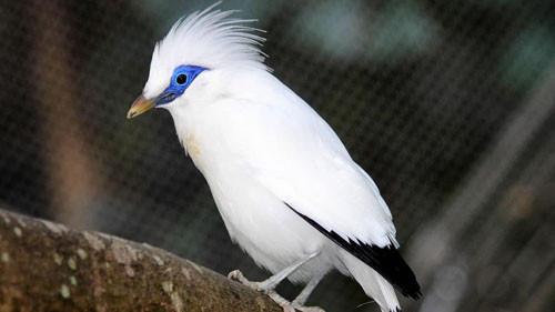 Bali Starling or Bali Mynah, a bird only found in Bali.