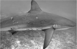 Morsures sur un requin femelle