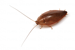 コモリゴキブリ.png