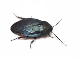 触角の黒いルリゴキブリ