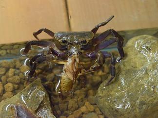 ヤエヤマヤマガニのゴキブリ捕食