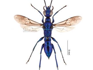 ミツバセナガアナバチの標本