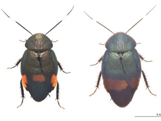 Eucorydia tokaraensisとEucorydia donanensisの記載