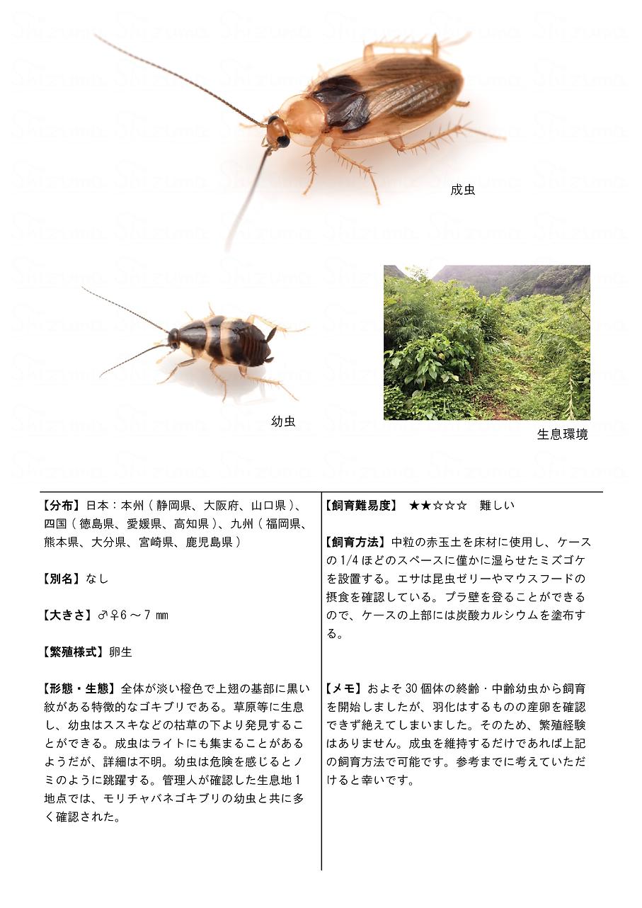 クロモンチビゴキブリ2.png
