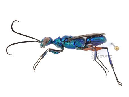 エメラルドゴキブリバチ♂