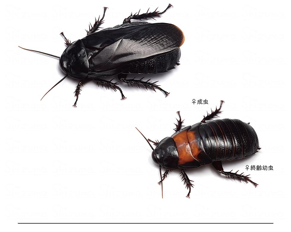 ムネアカオオゴキブリ.png