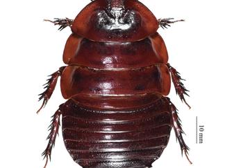 ヨロイモグラゴキブリMacropanesthia rhinocerosの標本