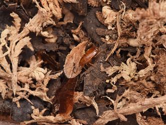 オオモリゴキブリ孵化