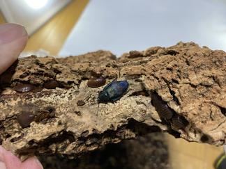 ウスオビルリゴキブリ羽化