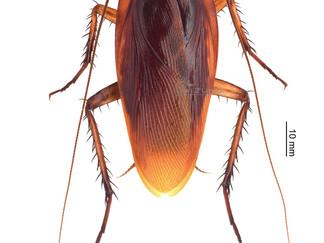 ワモンゴキブリの標本
