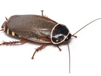 シマンドアドウクツゴキブリ
