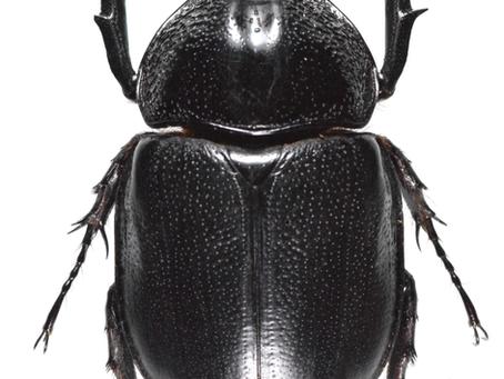 ゴウシュウマルムネカブトHaploscapanes barbarossaの標本
