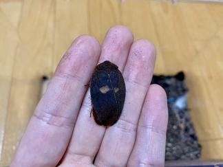 チュウガタサカガメゴキブリErgaula silphoides?の羽化