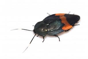 タイワンオオルリゴキブリ ♂成虫 (2).png