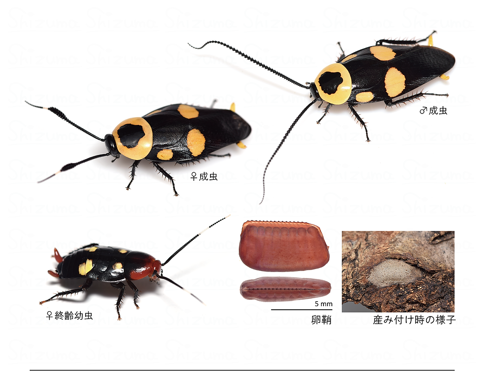 Thersocera spectabilis.png