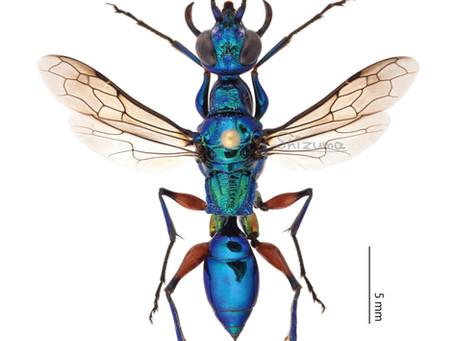 エメラルドゴキブリバチの標本