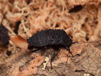 アシナガゴキブリの産卵
