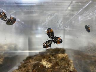 オオルリゴキブリの行動