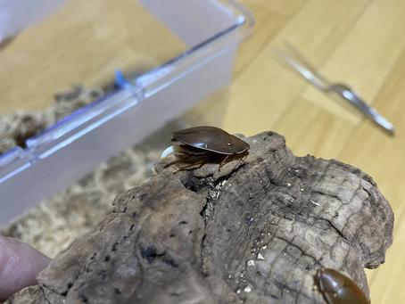 コモリゴキブリの卵鞘
