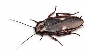 リラータサシガメゴキブリ.png