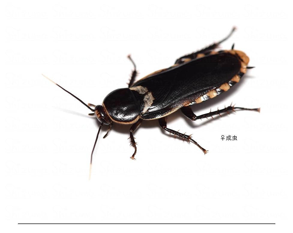 リネオラサシガメゴキブリ.png