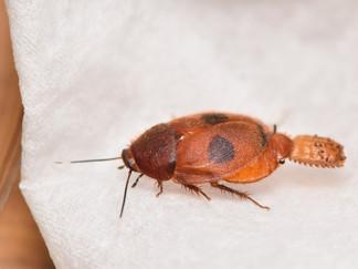 Eucorydia sp.の産卵