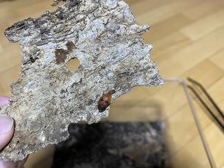 ヒメアカルリゴキブリの産卵