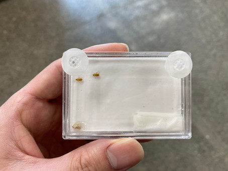 ホラアナゴキブリの石膏ケースでの飼育